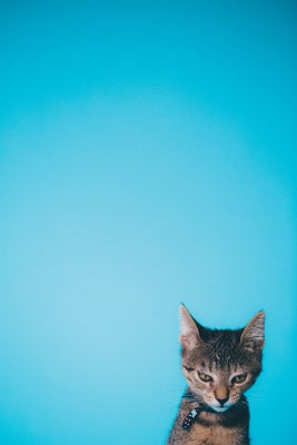 A picture of a disgruntled kitten. The image is tall and the tiny kitten is at the bottom right corner standing, in front of a solid blue background.