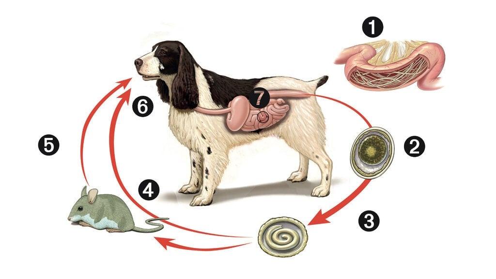 chó con bị nhiễm giun tròn
