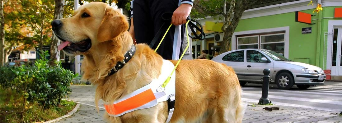 Service dog in training. Find guide dog training service insurance.