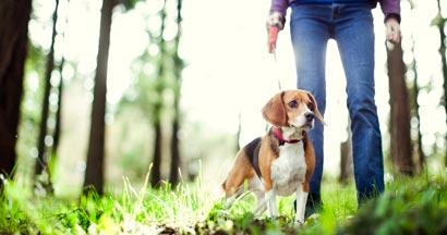 A dogwalker takes a cute beagle for a walk