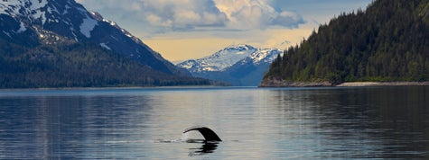 Humpback whale tail in calm waters Glacier Bay National Park Alaska