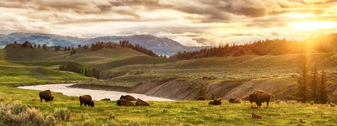 Herd of bison at sunset. Yellowstone National Park, Wyoming