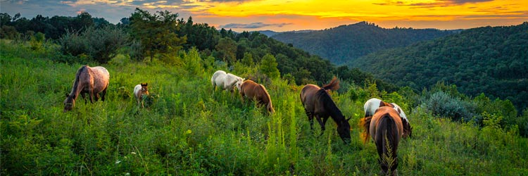 Wild horses foraging on mountain slope at sunset with the Appalachian Mountains of Kentucky in the backdrop.
