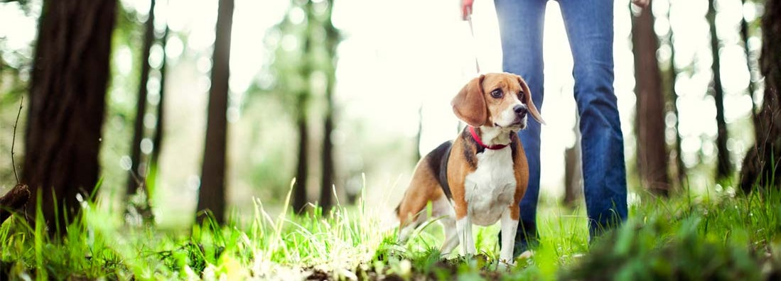 A dogwalker takes a cute beagle for a walk