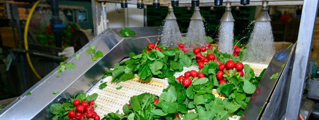 Radishes being washed on conveyor belt on industrial washing line