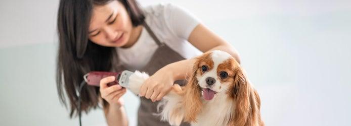 female dog groomer grooming a Cavalier King Charles Spaniel dog