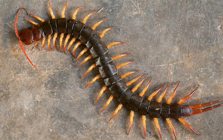 a centipede on a basement floor in denver