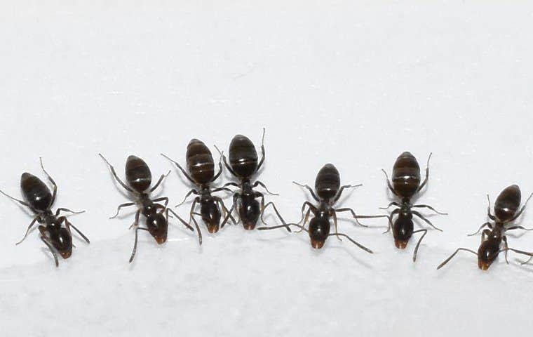 odorous house ants drinking