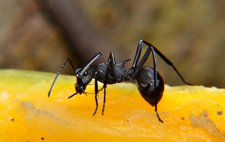 a carpenter ant on a mango in denver