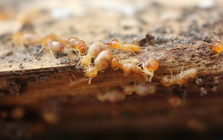 termites on a rough piece of wood