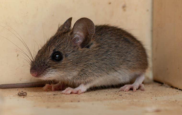 a little mouse hiding