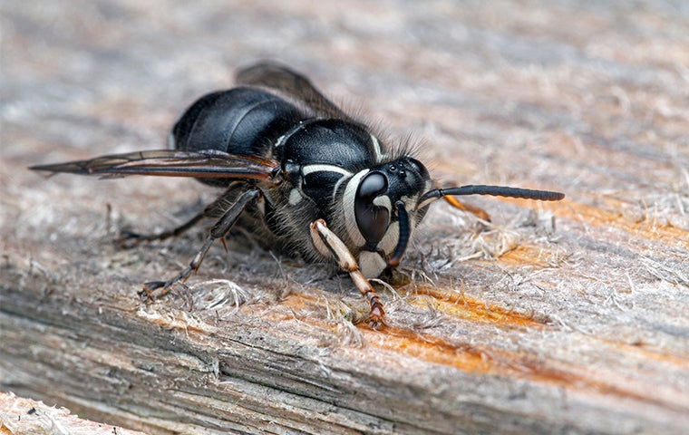 bald faced hornet chewing on wood