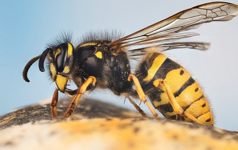 a yellow jacket on a piece of fruit