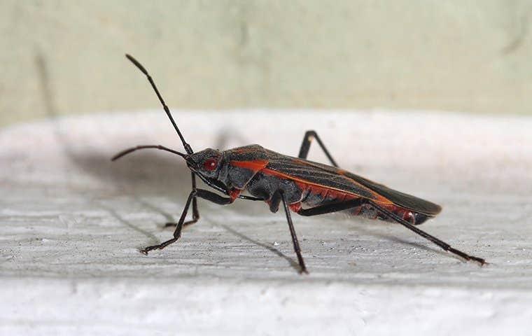 a boxelder beetle on a  windowsill