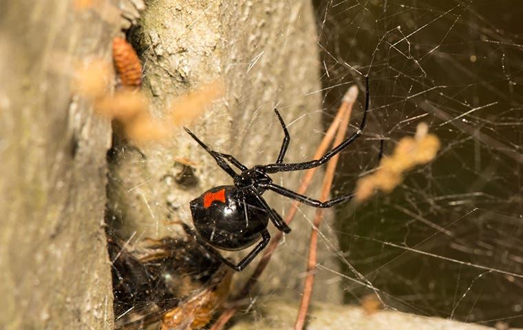 a female black widow spider in her web