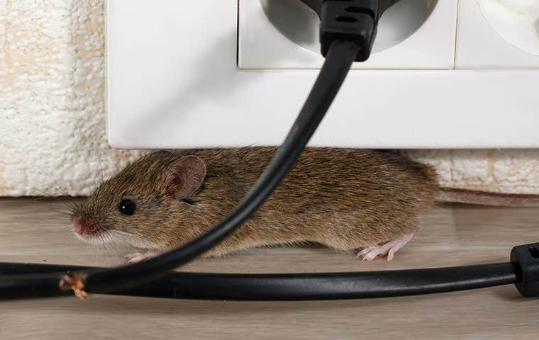 a little mouse by an outlet