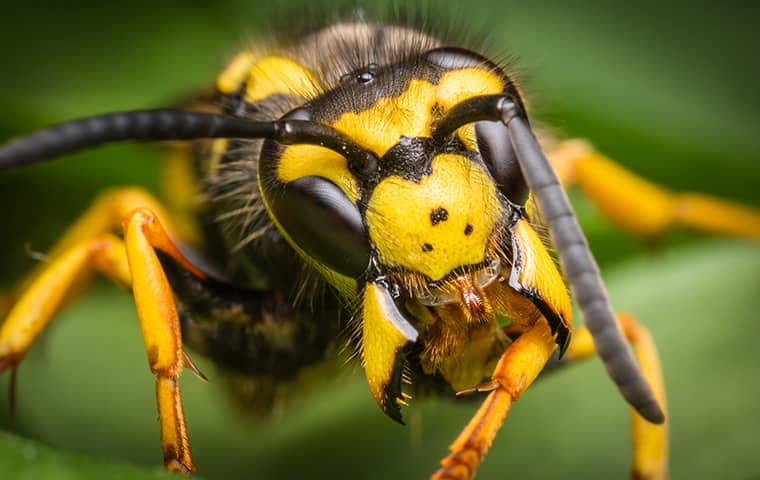 close up view of a yellow jacket wasp in denver