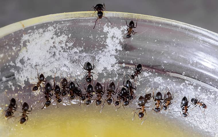 many ants in a bowl in a kitchen in denver
