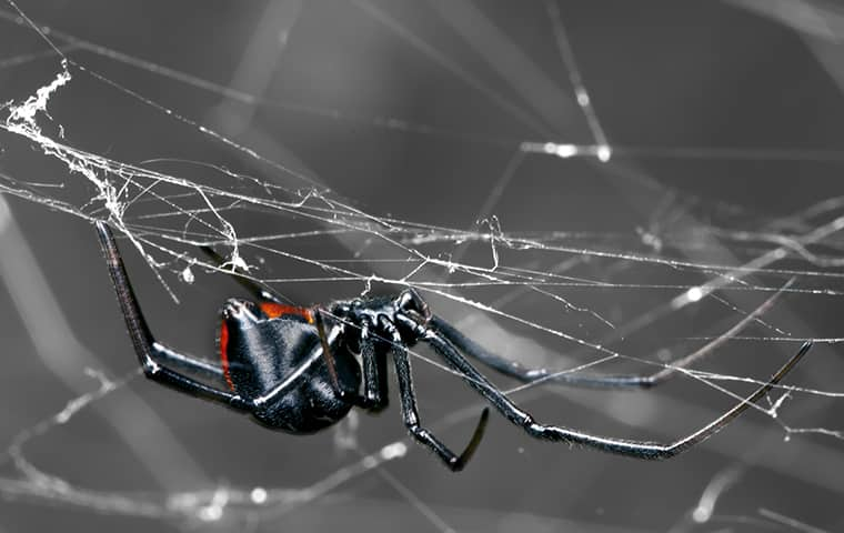 a black widow spider in its web in denver