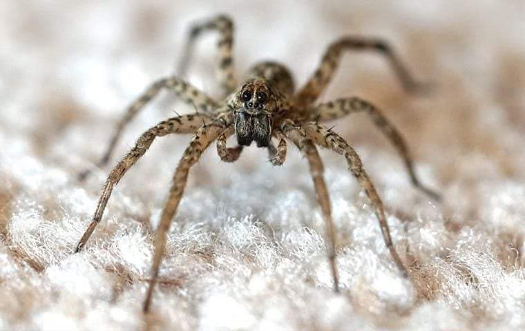 a wolf spider in a living room