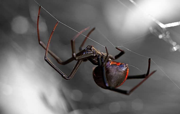 a black widow spider in its web in colorado