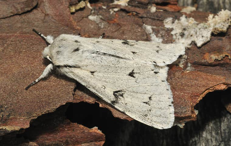 a miller moth on wood in colorado