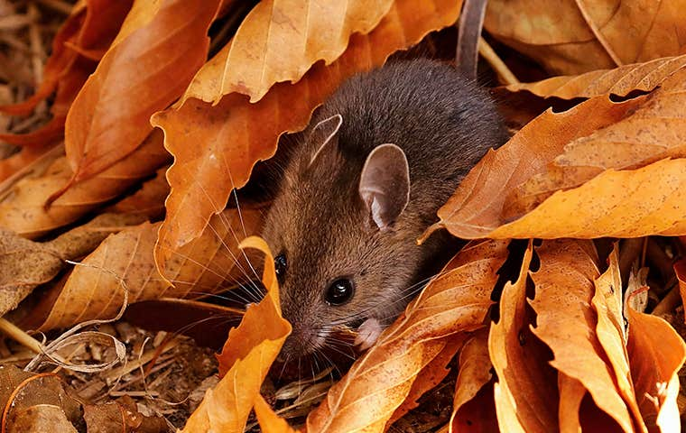 a mouse in orange leaves in colorado