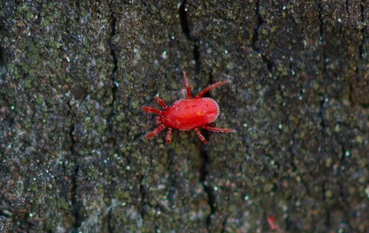 a clover mite on wood