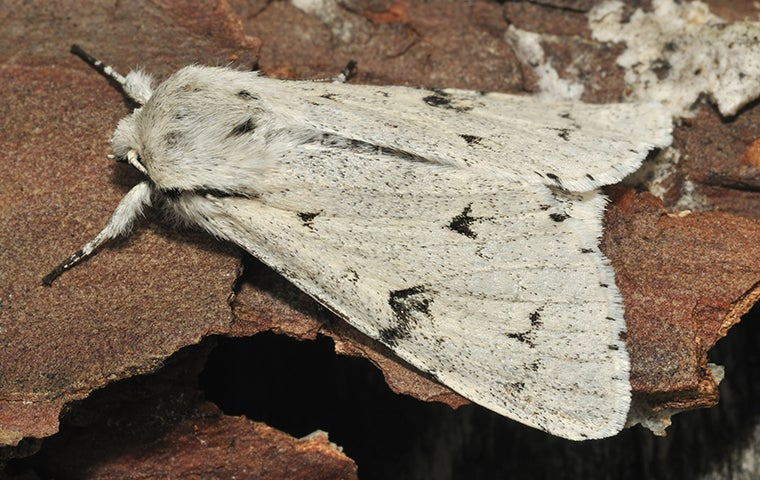 a miller moth on tree bark in denver