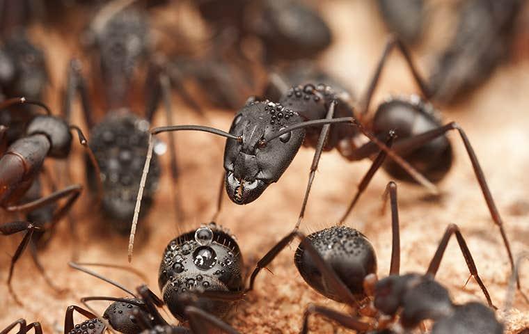 many carpenter ants infesting a home in denver colorado