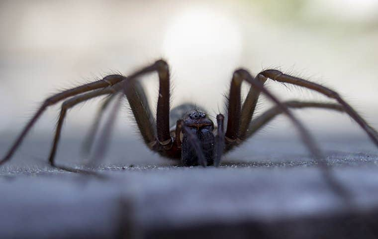 a wolf spider on a driveway in denver colorado