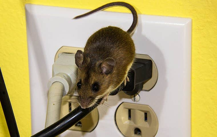a mouse crawling on an electrical cord in a denver home