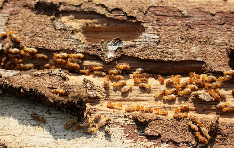 termites on a piece of wood