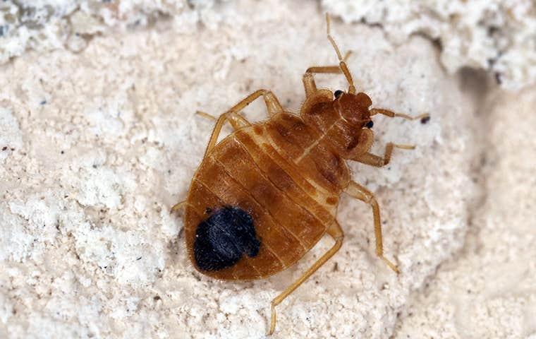 bedbug  on gravel in hot springs arkansas