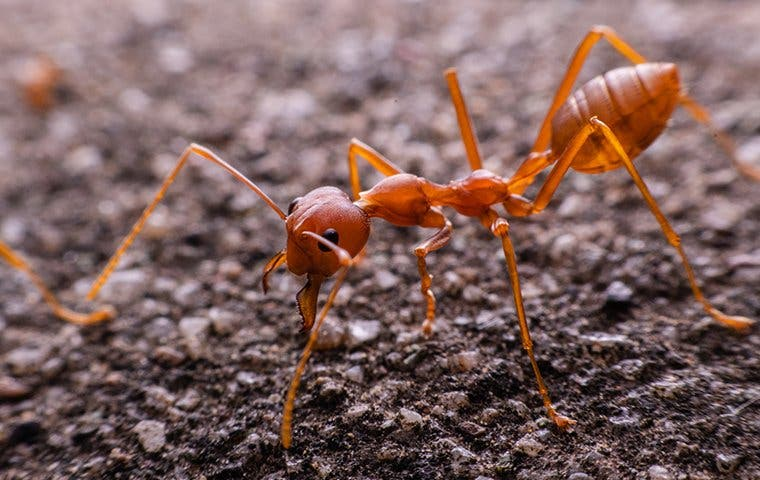 close up view of a fire ant on a driveway
