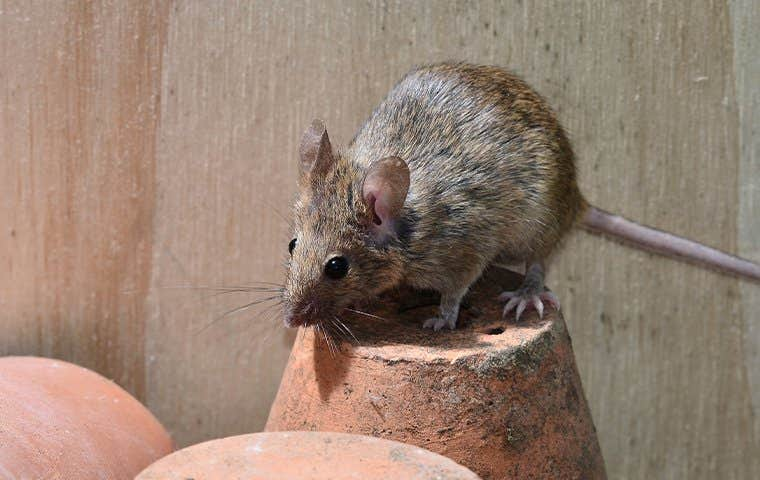 mouse on a pot in hot springs arkansas