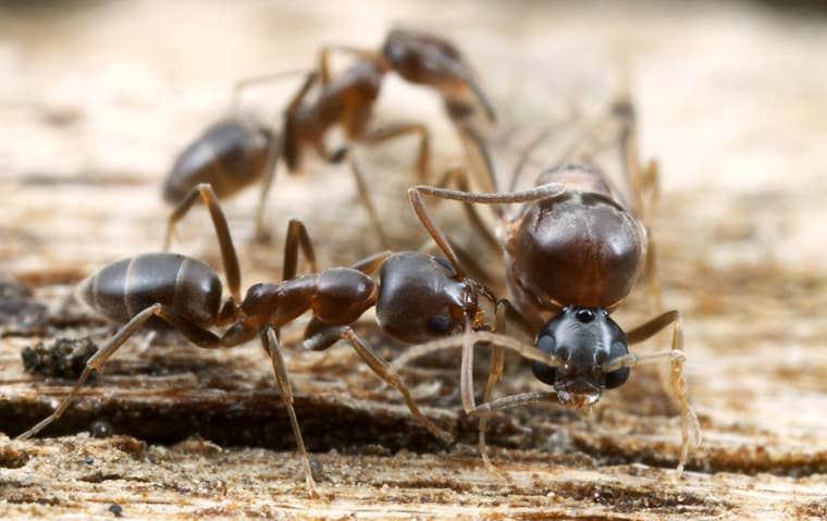 brown ants in hot springs arkansas