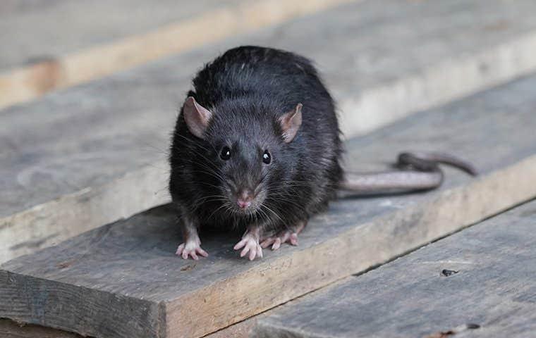 black rat on wood in hot springs arkansas