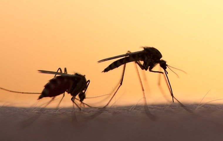 two mosquitoes biting a persons arm