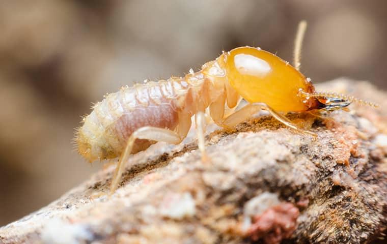 a termite crawling on damaged wood in san diego
