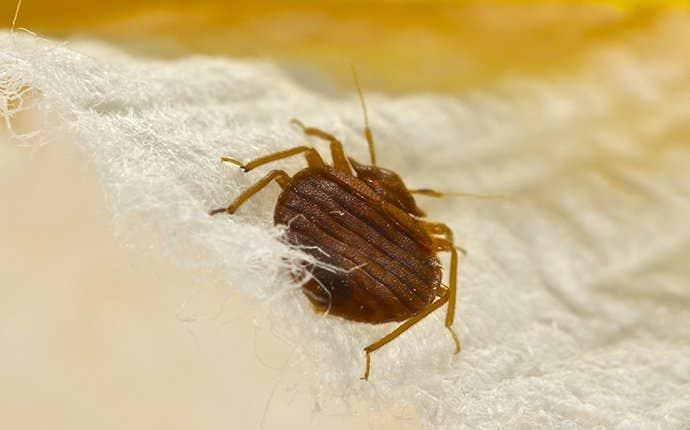 a bed bug up close on a mattress
