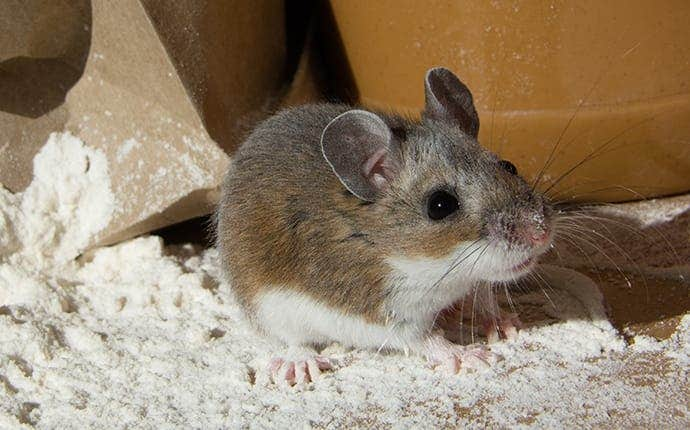 a little house mouse in flour
