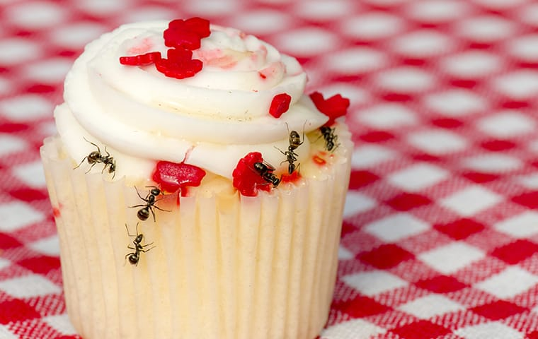 ants crawling on a cupcake in a home in orange county