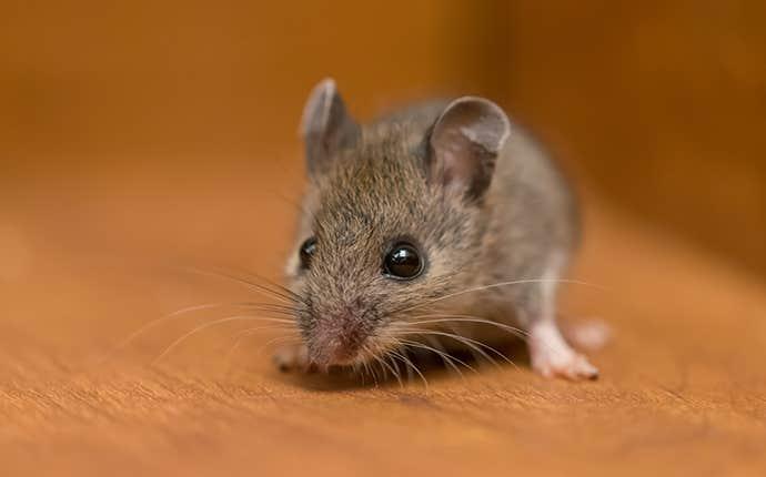 little house mouse
