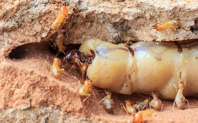 a queen termite with other termites
