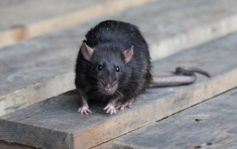 a rat on a back porch