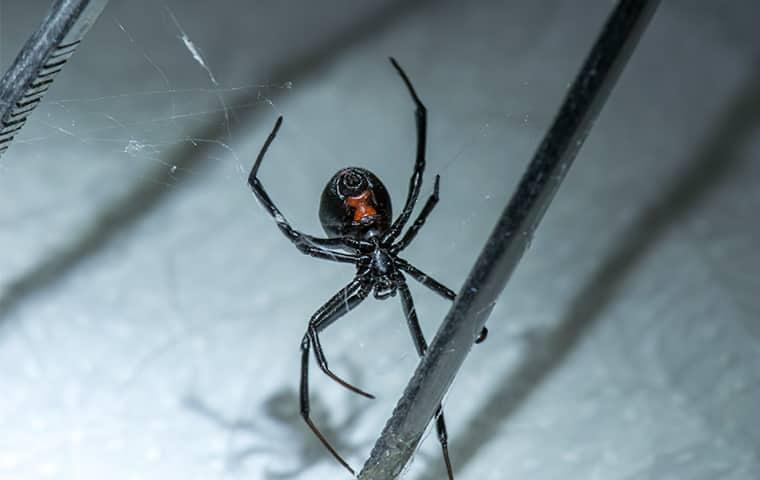 a black widow spider on its web in san diego