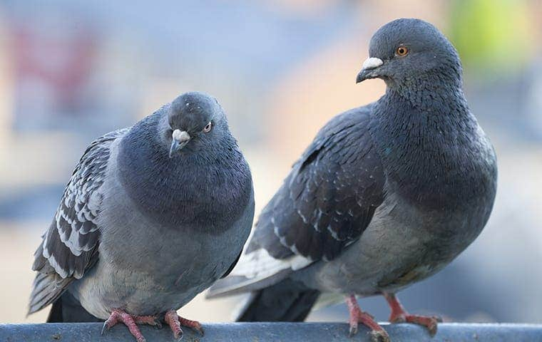 two pigeons outside a restaurant in sacramento