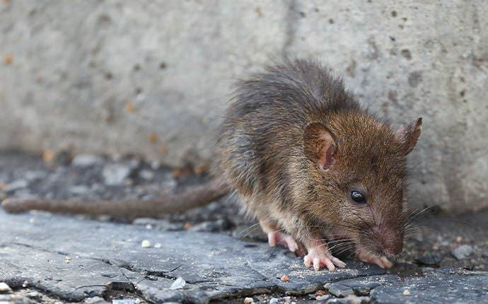 a gross rodent looking for an entry point