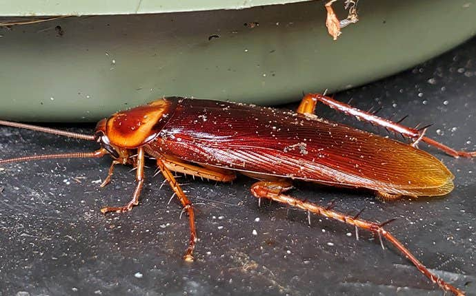 dirty american cockroach